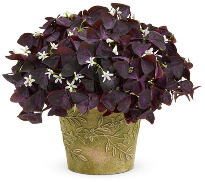 Shamrock Charmed Wine Oxalis - Chiller
